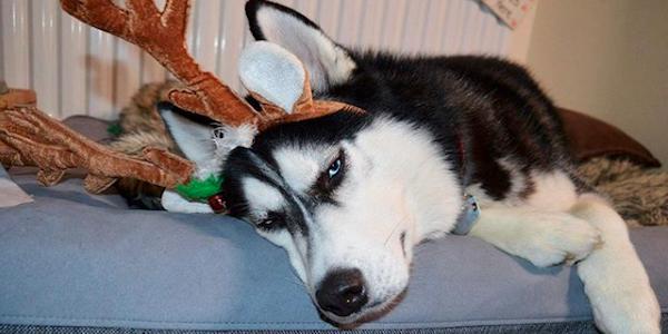 Anuko, un husky siberian cu față nervoasă, pozează în ren