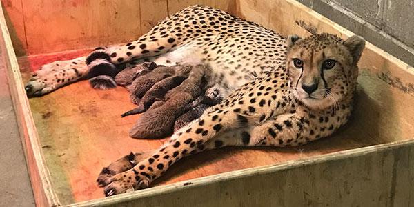 Record la o grădina zoologică, o femelă ghepard a născut opt pui